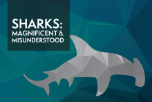 sharks: magnificent and misunderstood